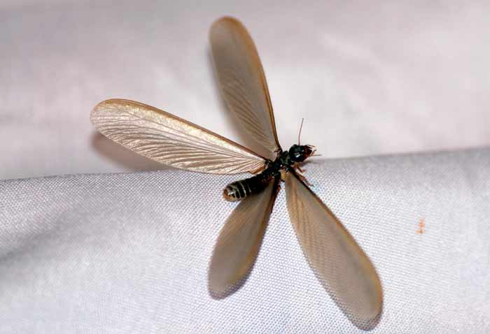 Flying Termites with Wings Swarmers Pictures  How to