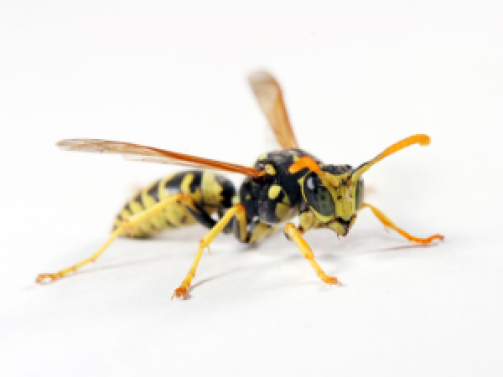 Facts About Wasp