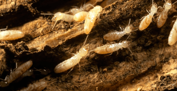 Can You Hear Termites? Termites Sound