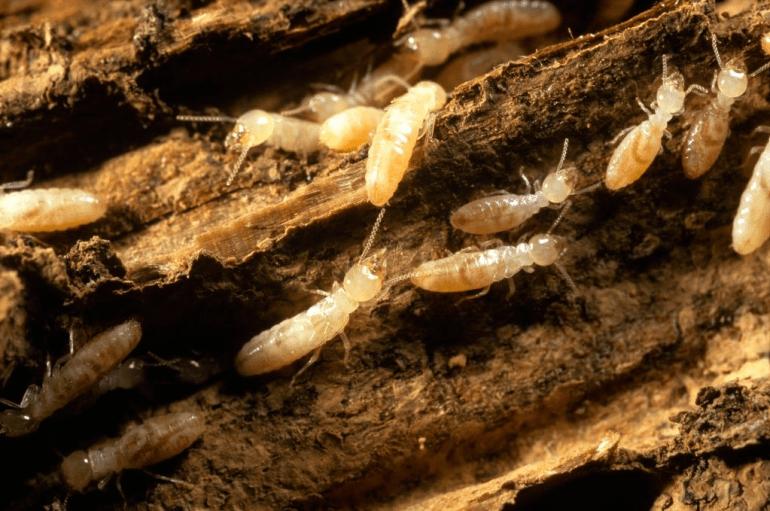 How to kill Formosan Termite