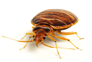 Flea vs Bed Bug Bites