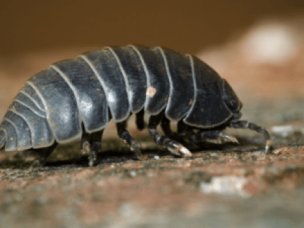 Picture of a pill bug