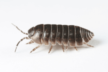 Picture of a sow bug