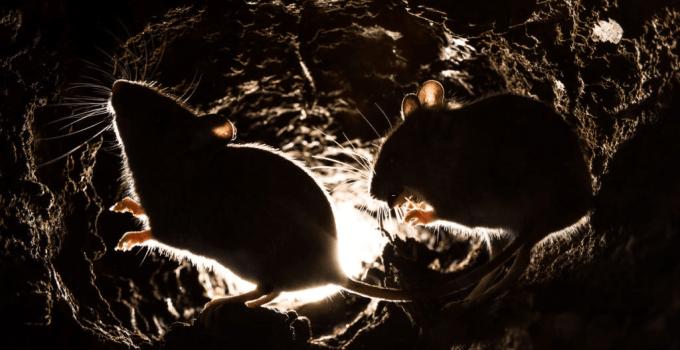 Do Mice Hibernate? A Detailed Insight Into Mice Hibernation