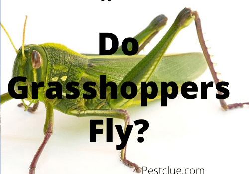 Do Grasshoppers Fly? Movement Of Grasshoppers