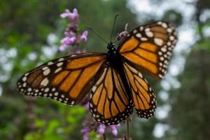 How high can butterflies fly