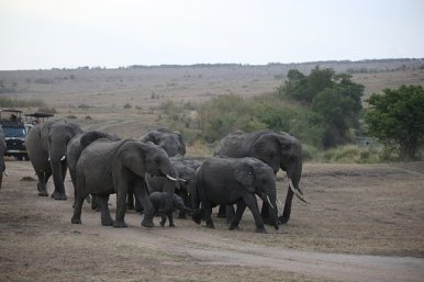 What is a Group of Elephants Called