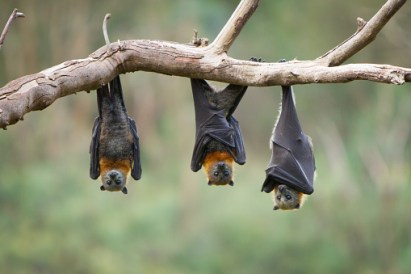 What is a group of bats called