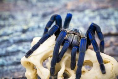 Chinese Bird Spider