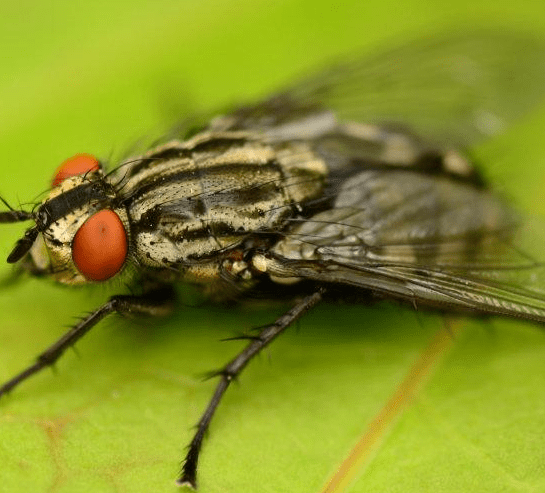 5 Most Common Fly Species In The UK