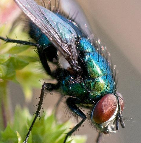 Most Common Fly Species In The UK