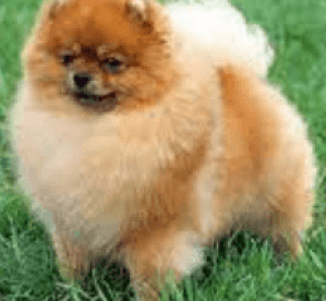 Fluffy white dogs