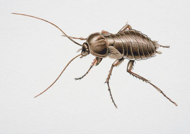 How do I Get Rid of Oriental Cockroaches