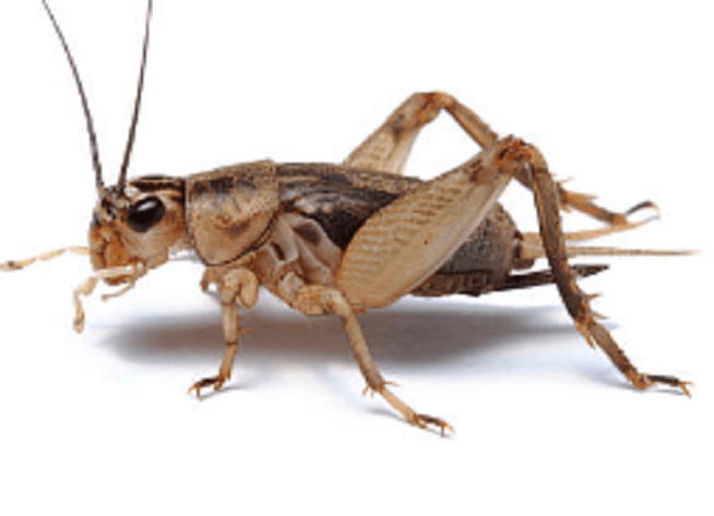 best way to get rid of Crickets outside