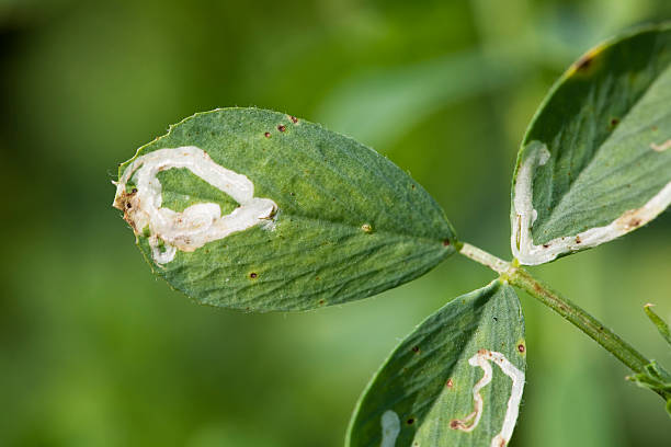 How to get rid of leaf miner