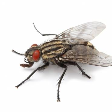 How to control a cluster fly infestation