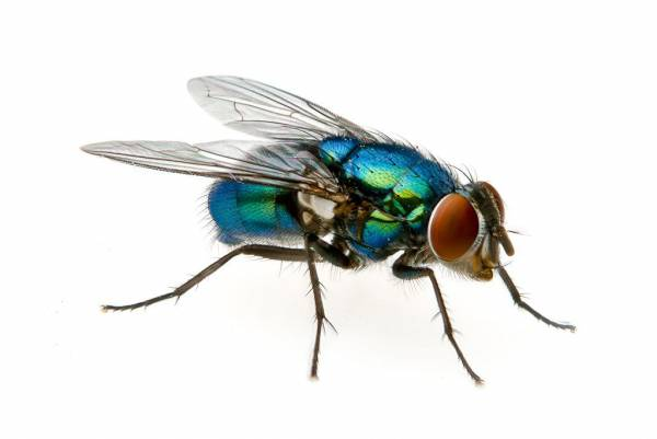How to control a blowfly infestation