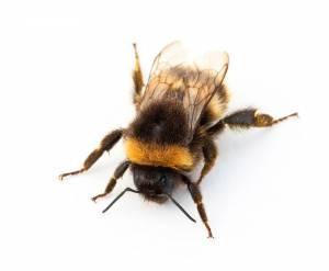Bees' nest found West Kirby loft