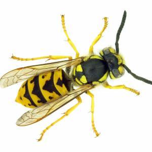 Wasp infestation incident in Birkenhead