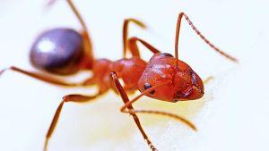 عن النمل الناري