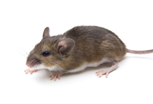 Rodent Identification and habits. - PEST CONTROL CANADA