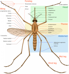 and as for a giant mosquito found in china its life cycle even shorter though its body is 10 times longer than an average mosquito a giant mosquito lives  [ 972 x 1024 Pixel ]