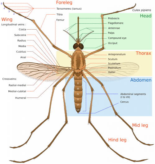 small resolution of and as for a giant mosquito found in china its life cycle even shorter though its body is 10 times longer than an average mosquito a giant mosquito lives