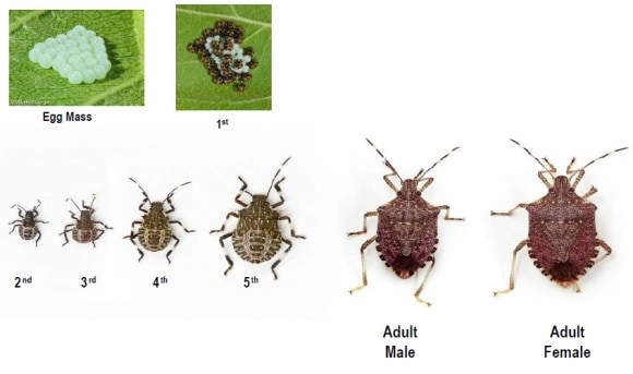 How to Get Rid of Stink Bugs and Keep Them Away - Pest ...