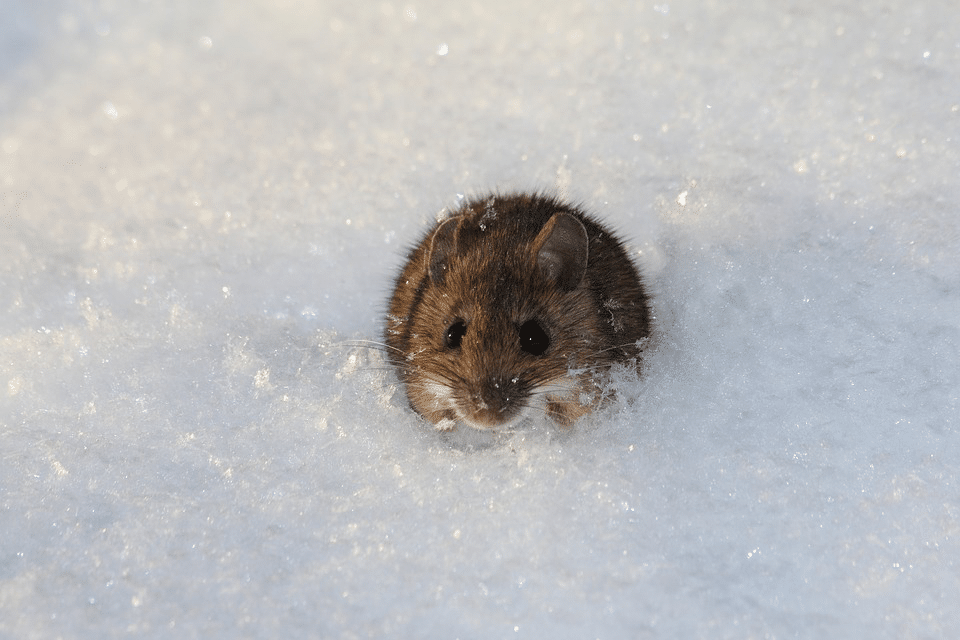 Do All Mouse Droppings Have Hantavirus - Pestcontrolkitchener.ca