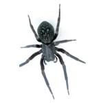 blackhouse-spider
