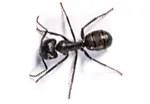 carpenter-ant-pest-control