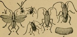 German-cockroach-life-cycle