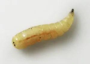 white worm larva larvae