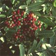 Brazilian Pepper berries