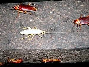 Albino cockroach