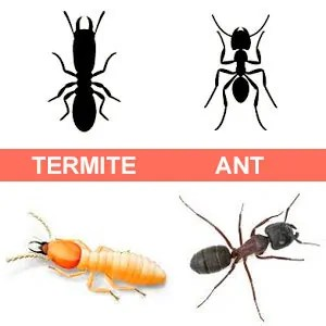 Termite and ant images