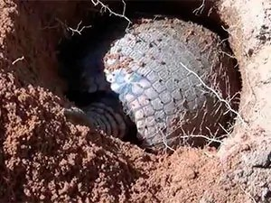 Armadillo roll up into a ball