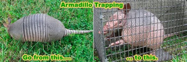 Armadillo trapping