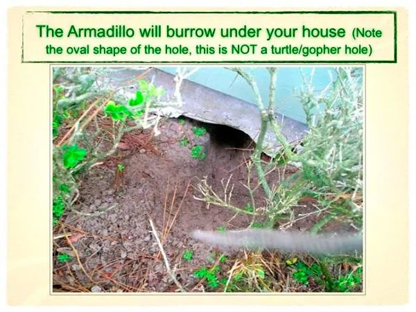 The armadillo will burrow under your house