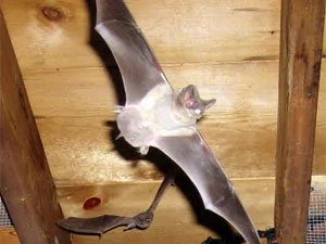 Bats traps have one common feature: single-way flap