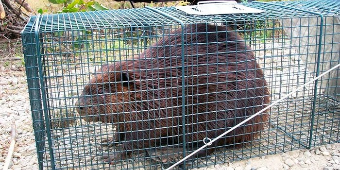 Beaver trapping tips