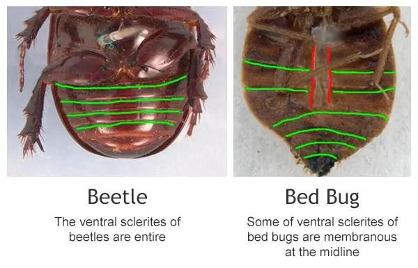 Beetle and bed bug