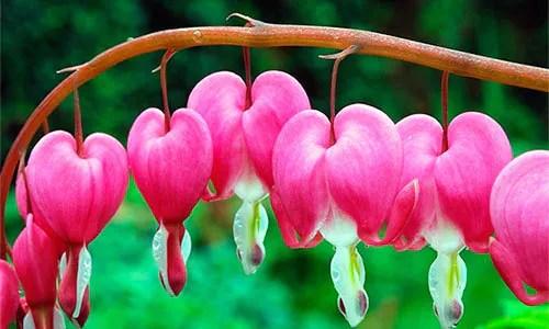 Bleeding hearts plant