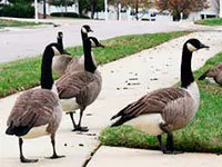 Canadian geese problems solves