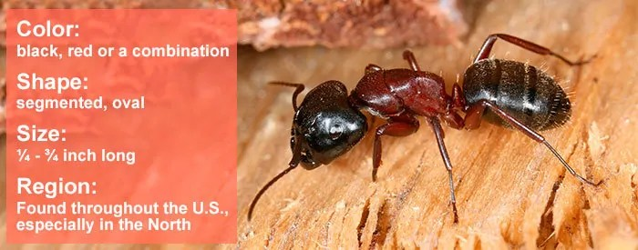 Carpenter Ants Facts