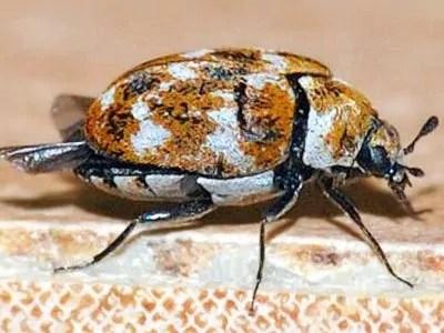 Carpet beetle identification