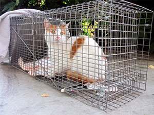 Cat in trap