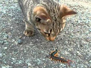 Centipede and cat