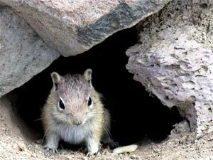 Chipmunks can undermine your stone walls