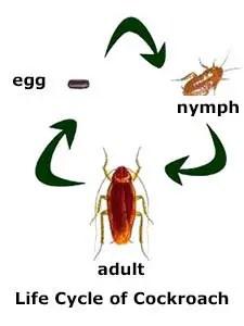 Cockroach life cycle
